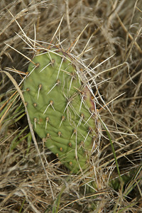 Prickly pear cactus in southern Grant County
