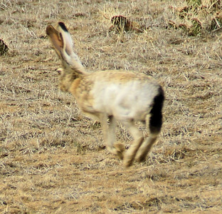 Jackrabbit near Wagon Bed Springs. Captured in mid hop.