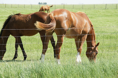 Grazing horses - eastern Haskell County