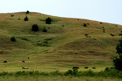 Cattle grazing on hillside above Thompson Creek