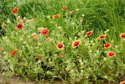 Paintbrush wildflowers along road - eastern Morton county