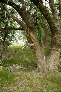 Large cottonwood tree at Middle Spring site. Cimmaron National Grassland. Santa Fe Trail watering site.