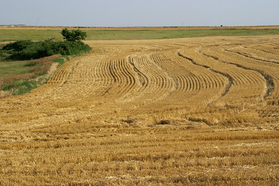 Cut wheat field - southwest Ness County