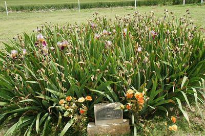 Blooming Iris at Zion Cemetery in Southeast Stevens County