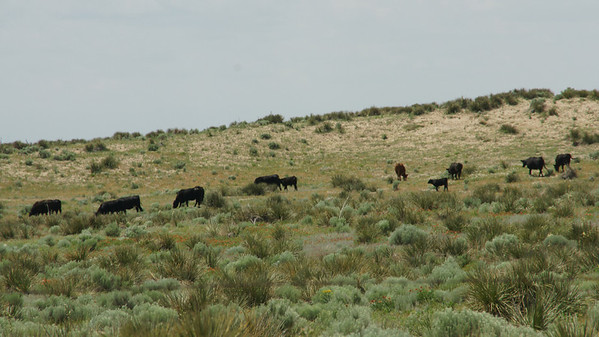 Cattle in pasture - western Stevens County