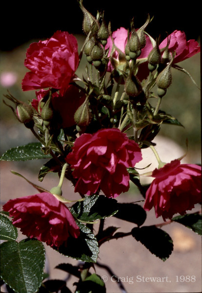 Gutendorst Rose<br /> Ektachrome slide film