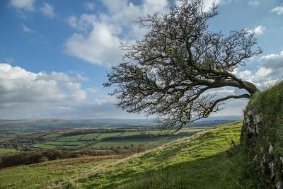 Windblown hawthorn tree on Dartmoor