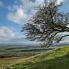 Windblown hawthorn tree on Dartmoor