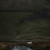 A sheep peers in the foreground of a steep hill, along a path. Ireland.