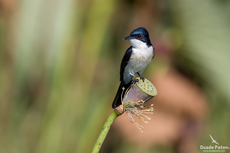 Paperback Flycatcher (Restless)