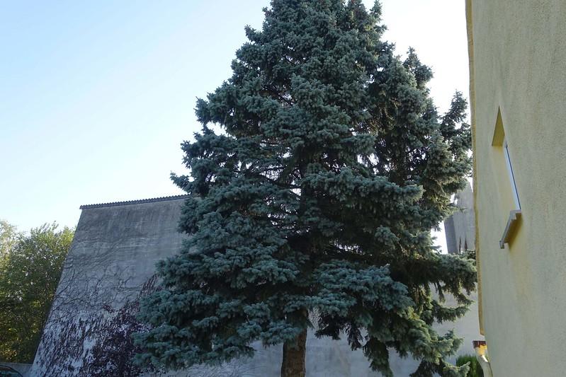 Das war einmal ein kleiner Weihnachtsbaum. 40 Jahre später ist er über 15 Meter groß geworden  und  wurde  für Sandra (meine Tullner Nichte) zum Ärgernis. Für die Beseitigung  war sie bereit einige hundert Euronen auf den Tisch zu legen,  Als alles schon vereinbart war kam Susanna dahinter und meinte, dass wir das billiger machen würden.  Wir wären mit einem  guten Mittagessen zufrieden..
