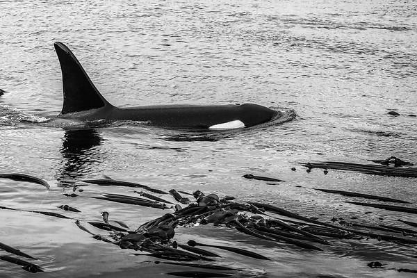 Cruisin' Orca