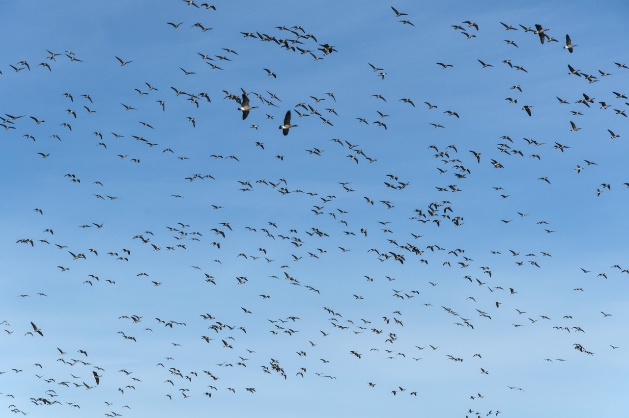 The sky filled with Canada Geese over Creamer's Field (2011 photo).
