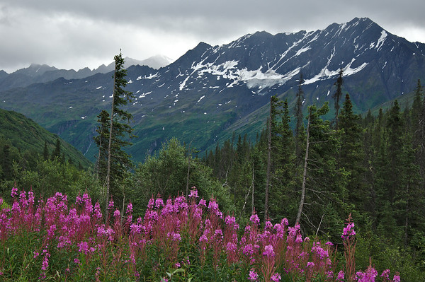 Photo of the Day | December 31, 2013  Fireweed blooms along the Richardson Highway near in the Chugach Mountains. Overcast or not, this place is beautiful.