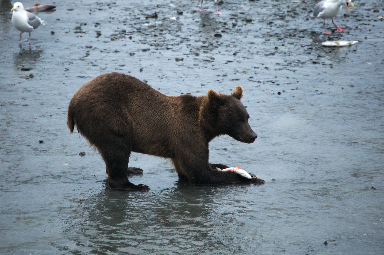 Brown bear eating salmon in a tidal flat