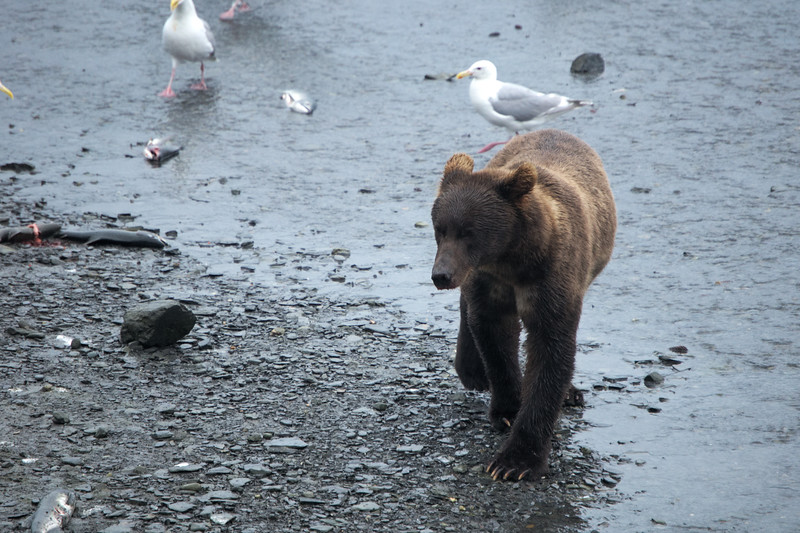 Young brown bear wandering near Valdez, eating salmon like a king.
