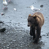 Young brown bear wandering near Valdez, eating salmon like a king. Gulls follow to devour his leftovers.
