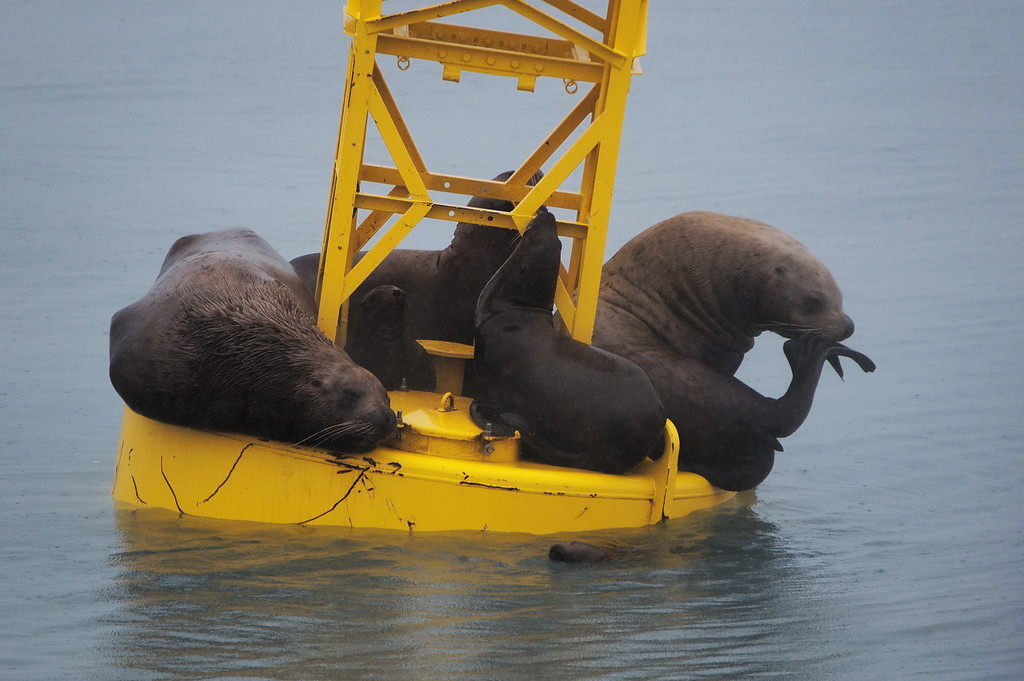 Steller sea Lions resting, basking, taking a swim, and pondering the universe on a buoy near Valdez Harbor during a rainy day.  More Alaska wildlife photos: http://goo.gl/L3bAWa