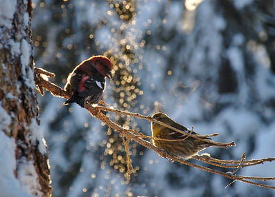 White Wing Crossbills