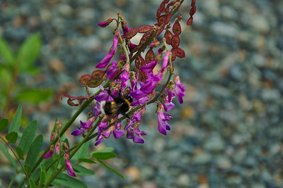 Alpine Sweetvetch