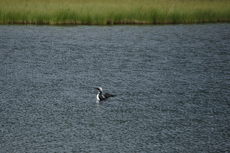 We saw a few arctic loons.