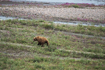 Grizzly in the Teklanika riverbed