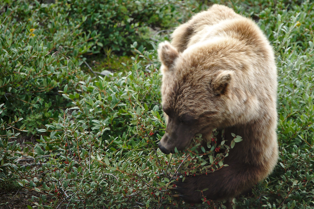 Grizzly bear eating soapberries along the Park Road in Denali National Park. Taken on the Kantishna Experience tour into the park. It was an absolutely fantastic day for wildlife viewing!