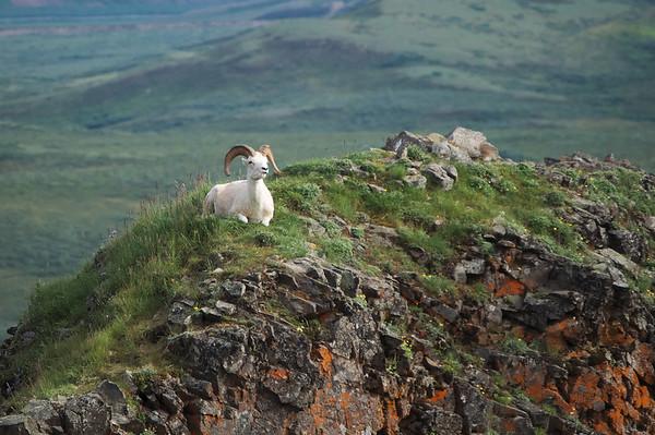 Dall Sheep near Polychrome Pass in Denali National Park.