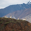 Dall Sheep on a Ridge