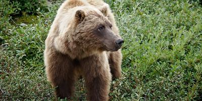 Grizzly Bear - Denali National Park