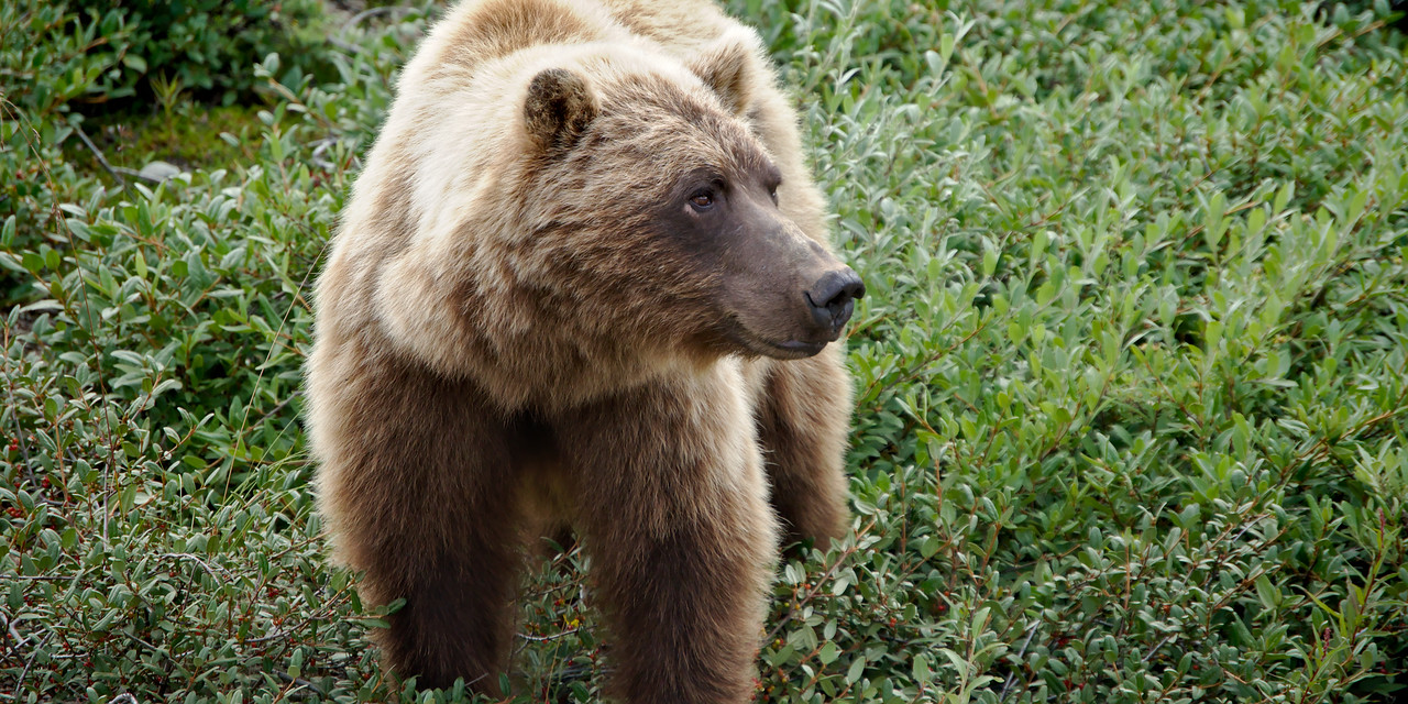 Grizzly Bear - Denali National Park