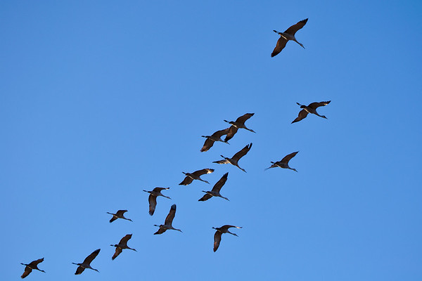 Sandhill cranes at Creamer's Field Migratory Waterfowl Refuge.