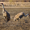Sandhill cranes at Creamer's Field Migratory Waterfowl Refuge in Fairbanks, Alaska