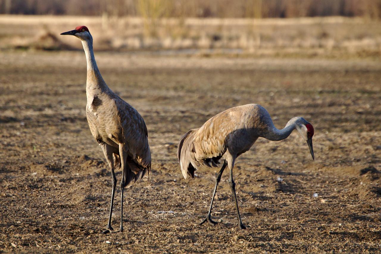 Sandhill cranes at Creamer's Field
