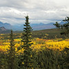The aspen and birch leaves are changing - near the entrance to Denali National Park.