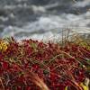Red Foliage