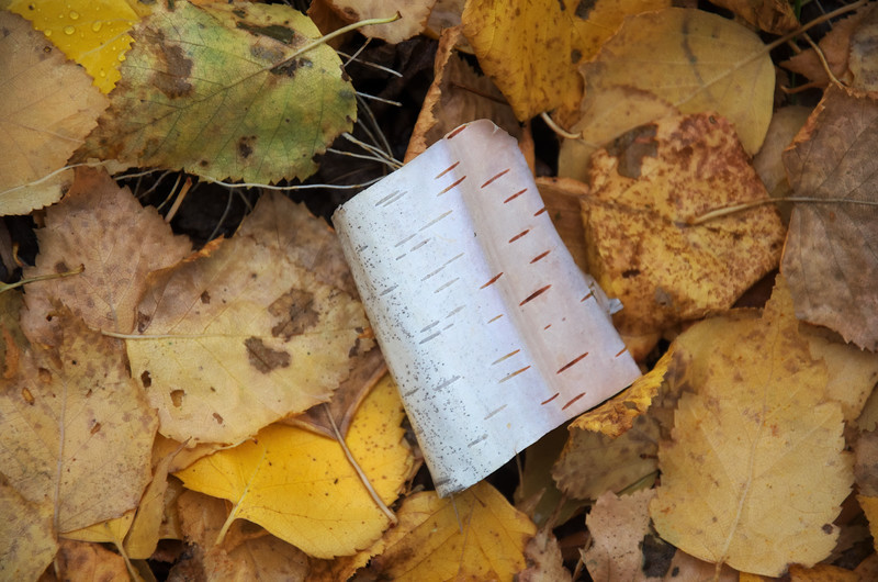 Little tuft of paper birch bark in the leaves.