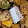 Little tuft of paper birch bark in the leaves.