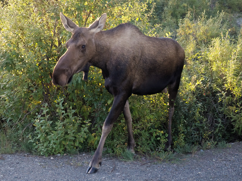 Cow moose crossing the Park Road in Denali National Park.