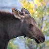 August - Moose