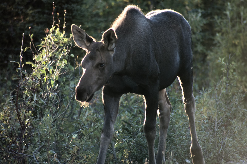 Moose calf in Denali NP