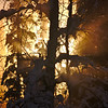 Birch & Spruce Light