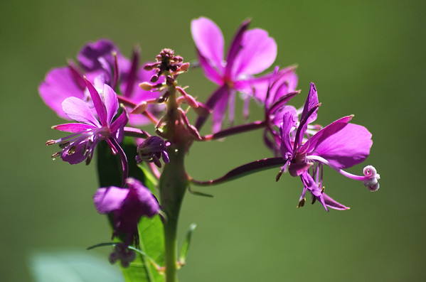 common fireweed close-up