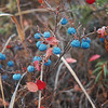 Frozen blueberries still lining the trail.