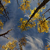 The yellow aspen leaves are a beautiful contrast against the blue sky in September.
