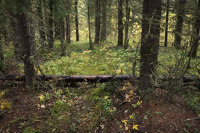 Sparse boreal forest floors.