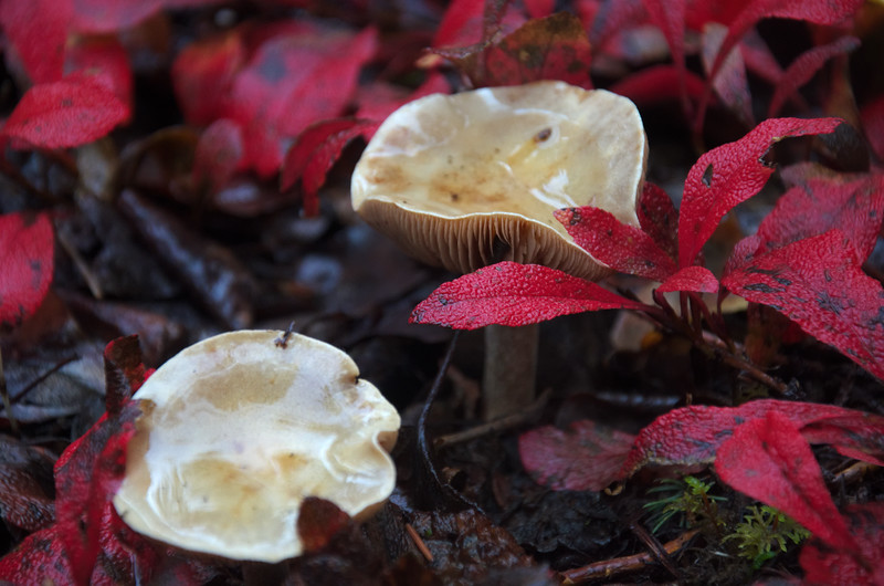 Mushrooms and red foliage.