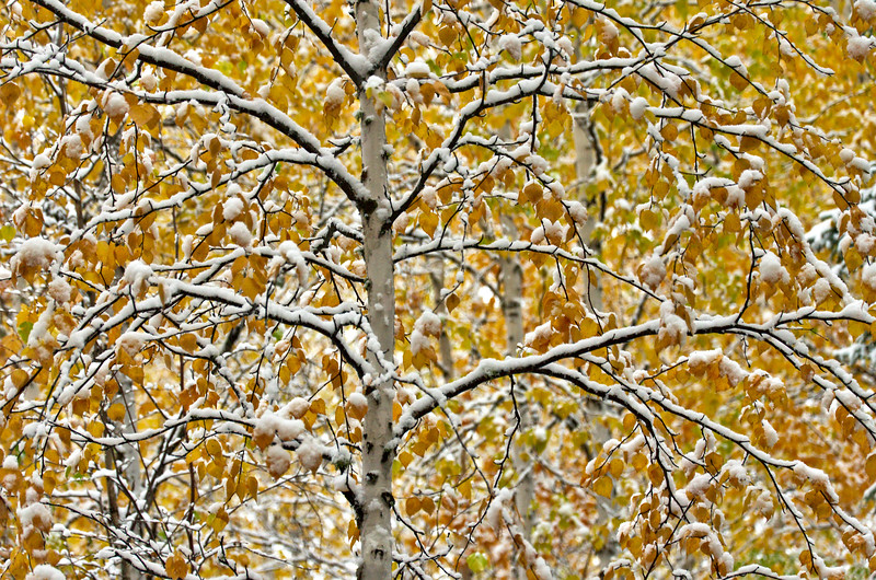 An early snowfall fell in September of 2013 in Fairbanks. The foliage was just coming into peak and the oranges and yellows were beautiful covered in a bit of white.