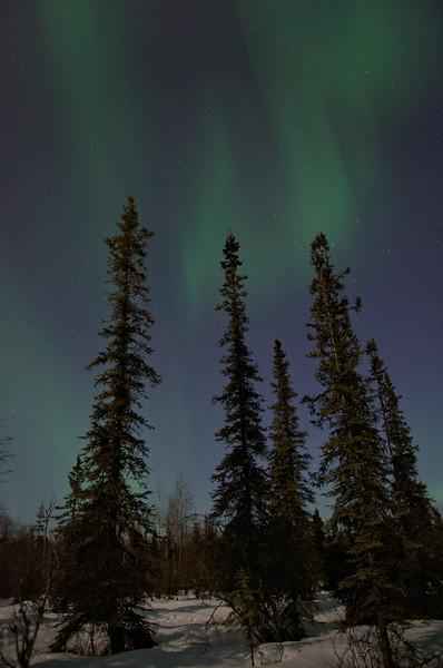 Wonderful boreal forest under the aurora borealis!