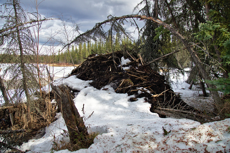 During our first snowfall on September 18th last year I sat and watched the beavers building this lodge. It looks like they finished it well - this is the first time I've seen the finished project.